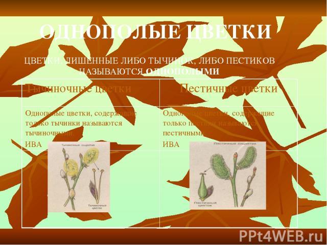 ОДНОПОЛЫЕ ЦВЕТКИ ЦВЕТКИ, ЛИШЕННЫЕ ЛИБО ТЫЧИНОК, ЛИБО ПЕСТИКОВ НАЗЫВАЮТСЯ ОДНОПОЛЫМИ Тычиночные цветки Пестичные цветки Однополые цветки, содержащие только тычинки называются тычиночными. ИВА Однополые цветки, содержащие только пестики называются пес…