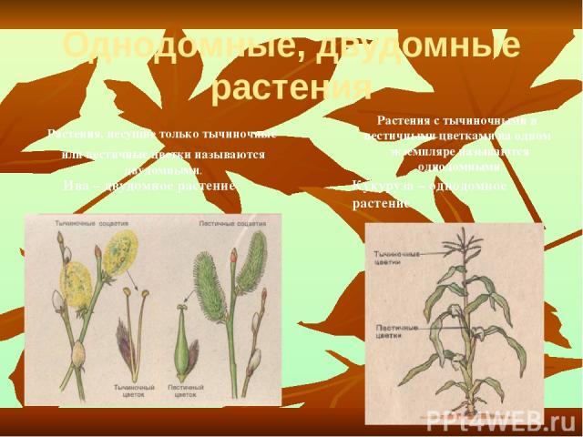 Однодомные, двудомные растения Растения, несущие только тычиночные или пестичные цветки называются двудомными. Кукуруза – однодомное растение Растения с тычиночными и пестичными цветками на одном экземпляре называются однодомными Ива – двудомное растение