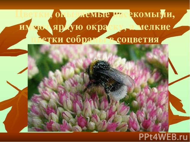 Цветки, опыляемые насекомыми, имеют яркую окраску, а мелкие цветки собраны в соцветия