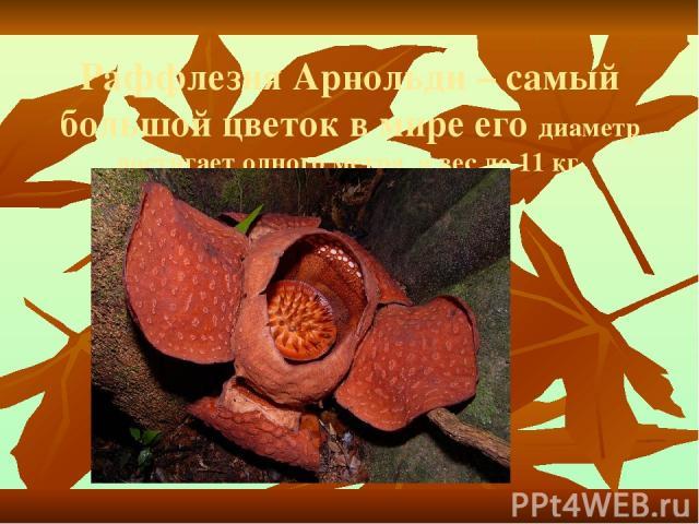 Раффлезия Арнольди – самый большой цветок в мире его диаметр достигает одного метра, а вес до 11 кг.