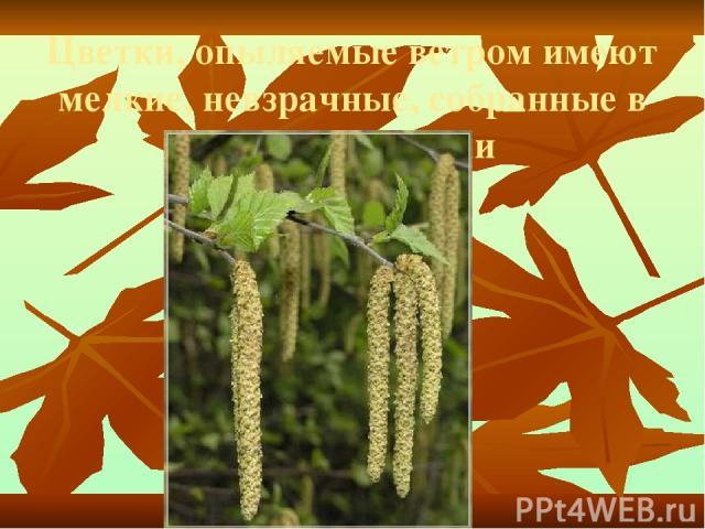 Цветки, опыляемые ветром имеют мелкие, невзрачные, собранные в соцветия цветки