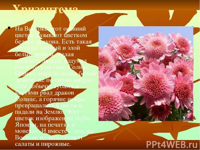Хризантема На Востоке этот осенний цветок называют цветком белого дракона. Есть такая легенда: хитрый и злой белый дракон, желая досадить людям, вздумал посягнуть на само Солнце. Одного лишь не ведал белый дракон: не по силам выбрал себе добычу. Зуб…