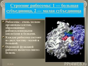 Строение рибосомы: 1 — большая субъединица, 2 — малая субъединица *