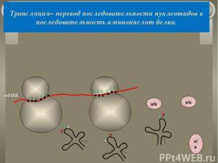 Трансляция– перевод последовательности нуклеотидов в последовательность аминокис