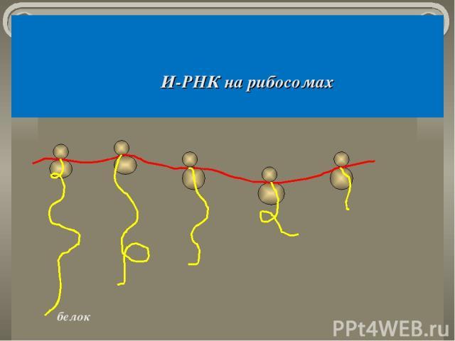 И-РНК на рибосомах белок