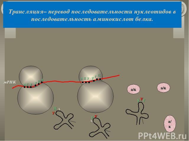 Трансляция– перевод последовательности нуклеотидов в последовательность аминокислот белка. мРНК А Г У У Ц А У Ц А А Г У а/к а/к а/к У У Г А Ц У У Г Ц