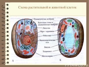 Схема растительной и животной клеток