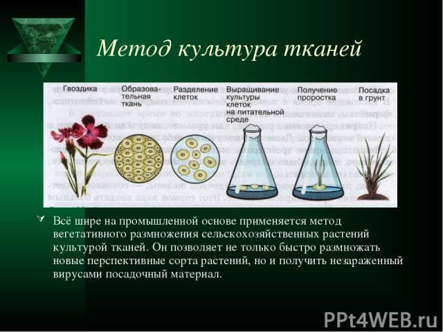 Метод культура тканей Всё шире на промышленной основе применяется метод вегетативного размножения сельскохозяйственных растений культурой тканей. Он позволяет не только быстро размножать новые перспективные сорта растений, но и получить незараженный…