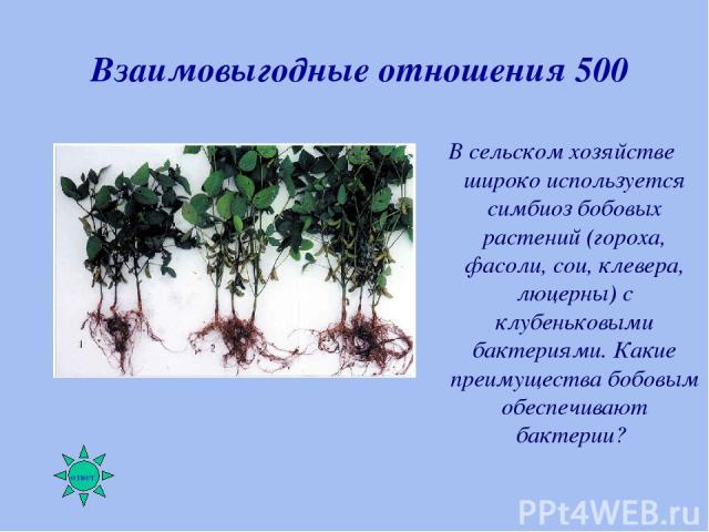 Взаимовыгодные отношения 500 В сельском хозяйстве широко используется симбиоз бобовых растений (гороха, фасоли, сои, клевера, люцерны) с клубеньковыми бактериями. Какие преимущества бобовым обеспечивают бактерии?