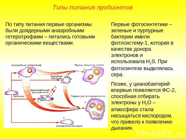 Первые фотосинтетики – зеленые и пурпурные бактерии имели фотосистему-1, которая в качестве донора электронов и использовала Н2S. При фотосинтезе выделялась сера. Позже, у цианобактерий впервые появляется ФС-2, способная отбирать электроны у Н2О – а…