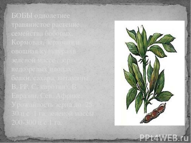 БОБЫ однолетнее травянистое растение семейства бобовых. Кормовая, зерновая и овощная культура (в зелёной массе , зерне , недозрелых плодах- белки, сахара, витамины В, РР, С, каротин). В Евразии, Сев. Африке. Урожайность зерна до 25-30 ц с 1 га, зеле…
