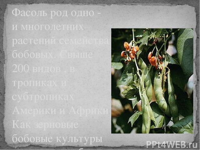 Фасоль род одно - и многолетних растений семейства бобовых. Свыше 200 видов , в тропиках и субтропиках Америки и Африки Как зерновые бобовые культуры возделывают более 20 видов.