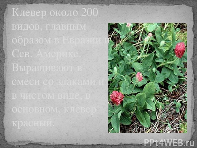 Клевер около 200 видов, главным образом в Евразии и Сев. Америке. Выращивают в смеси со злаками и в чистом виде, в основном, клевер красный.