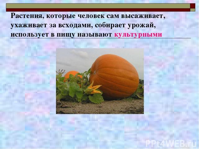 Растения, которые человек сам высаживает, ухаживает за всходами, собирает урожай, использует в пищу называют культурными