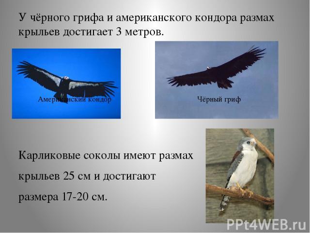 У чёрного грифа и американского кондора размах крыльев достигает 3 метров. Карликовые соколы имеют размах крыльев 25 см и достигают размера 17-20 см. Американский кондор Чёрный гриф