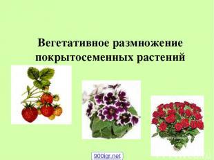 Вегетативное размножение покрытосеменных растений 900igr.net