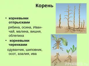 Корень корневыми отпрысками рябина, осина, Иван-чай, малина, вишня, облепиха кор