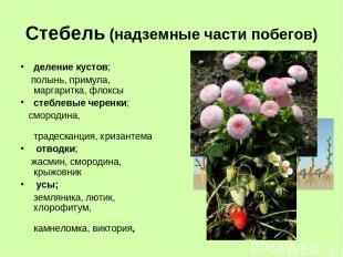 Стебель (надземные части побегов) деление кустов; полынь, примула, маргаритка, ф