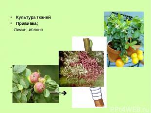 Культура тканей Прививка; Лимон, яблоня Привой ======== Подвой ========
