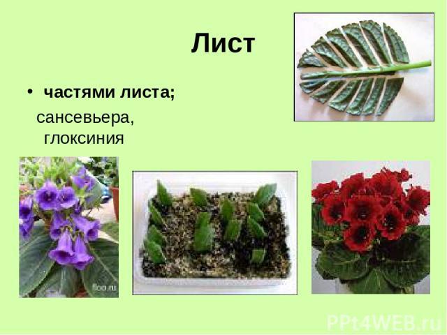 Лист частями листа; сансевьера, глоксиния
