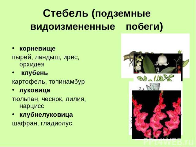 Стебель (подземные видоизмененные побеги) корневище пырей, ландыш, ирис, орхидея клубень картофель, топинамбур луковица тюльпан, чеснок, лилия, нарцисс клубнелуковица шафран, гладиолус.