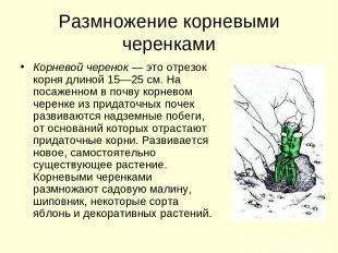 Размножение корневыми черенками Корневой черенок — это отрезок корня длиной 15—2