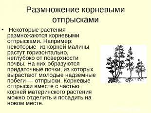 Размножение корневыми отпрысками Некоторые растения размножаются корневыми отпры