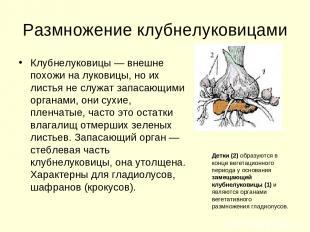 Размножение клубнелуковицами Клубнелуковицы — внешне похожи на луковицы, но их л