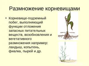 Размножение корневищами Корневище-подземный побег, выполняющий функции отложения