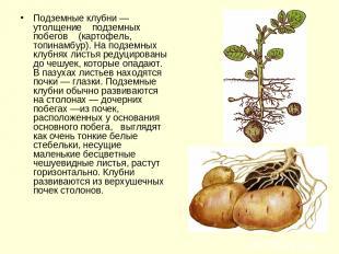 Подземные клубни — утолщение подземных побегов (картофель, топинамбур). На подзе