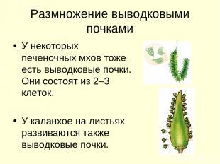 Размножение выводковыми почками У некоторых печеночных мхов тоже есть выводковые