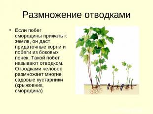 Размножение отводками Если побег смородины прижать к земле, он даст придаточные