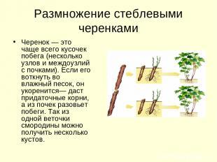 Размножение стеблевыми черенками Черенок — это чаще всего кусочек побега (нескол