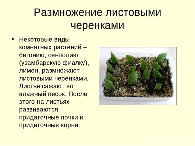 Размножение листовыми черенками Некоторые виды комнатных растений – бегонию, сенполию (узамбарскую фиалку), лимон, размножают листовыми черенками. Листья сажают во влажный песок. После этого на листьях развиваются придаточные почки и придаточные корни.