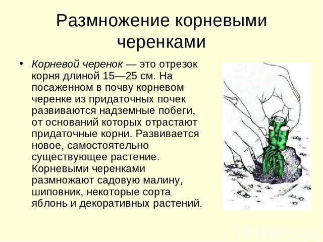 Размножение корневыми черенками Корневой черенок — это отрезок корня длиной 15—25 см. На посаженном в почву корневом черенке из придаточных почек развиваются надземные побеги, от оснований которых отрастают придаточные корни. Развивается новое, само…