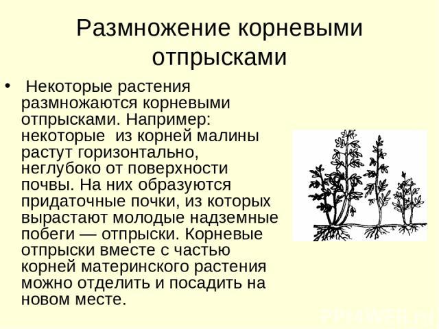 Размножение корневыми отпрысками Некоторые растения размножаются корневыми отпрысками. Например: некоторые из корней малины растут горизонтально, неглубоко от поверхности почвы. На них образуются придаточные почки, из которых вырастают молодые надзе…