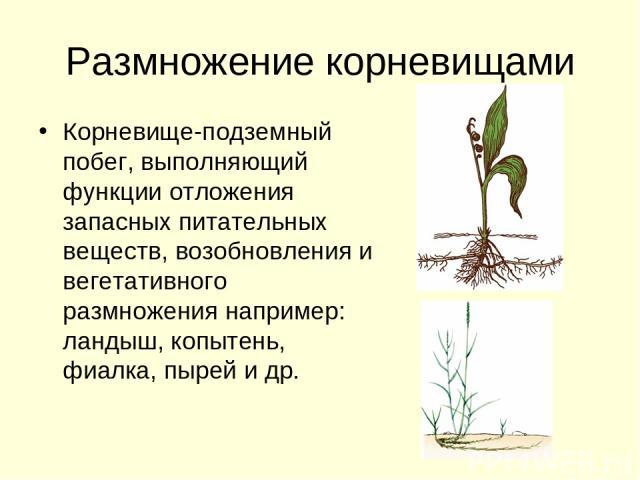 Размножение корневищами Корневище-подземный побег, выполняющий функции отложения запасных питательных веществ, возобновления и вегетативного размножения например: ландыш, копытень, фиалка, пырей и др.