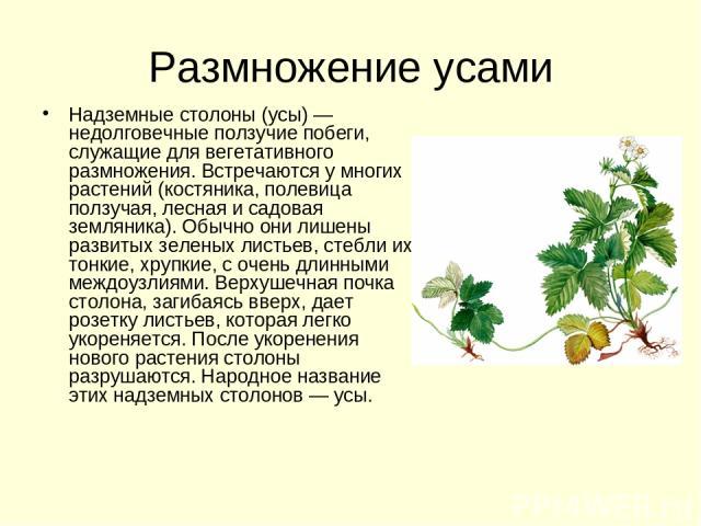 Размножение усами Надземные столоны (усы) — недолговечные ползучие побеги, служащие для вегетативного размножения. Встречаются у многих растений (костяника, полевица ползучая, лесная и садовая земляника). Обычно они лишены развитых зеленых листьев, …