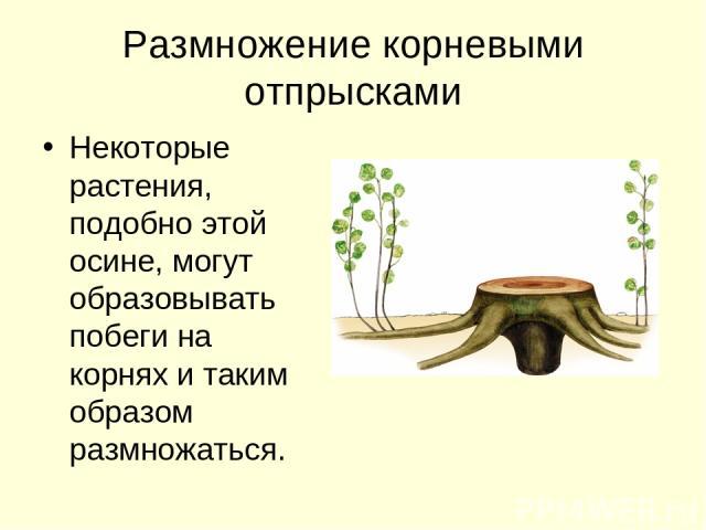 Размножение корневыми отпрысками Некоторые растения, подобно этой осине, могут образовывать побеги на корнях и таким образом размножаться.
