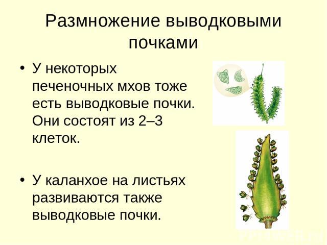 Размножение выводковыми почками У некоторых печеночных мхов тоже есть выводковые почки. Они состоят из 2–3 клеток. У каланхое на листьях развиваются также выводковые почки.