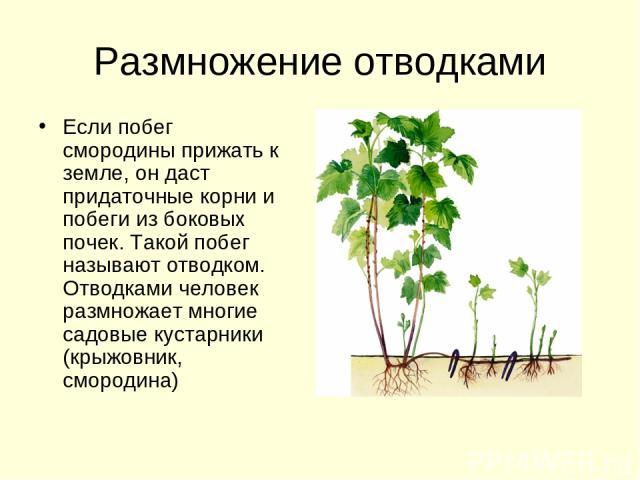 Размножение отводками Если побег смородины прижать к земле, он даст придаточные корни и побеги из боковых почек. Такой побег называют отводком. Отводками человек размножает многие садовые кустарники (крыжовник, смородина)