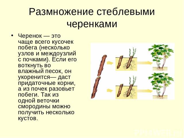 Размножение стеблевыми черенками Черенок — это чаще всего кусочек побега (несколько узлов и междоузлий с почками). Если его воткнуть во влажный песок, он укоренится— даст придаточные корни, а из почек разовьет побеги. Так из одной веточки смородины …
