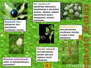 Вороний глаз – ядовито все растение, особенно плоды. Вех ядовитый – наиболее ядо