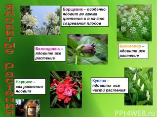 Борщевик – особенно ядовит во время цветения и в начале созревания плодов Болиго