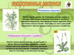 Ромашка пахучая Растёт вдоль дорог, по огородам, полям, садам, у жилищ. Цветочны