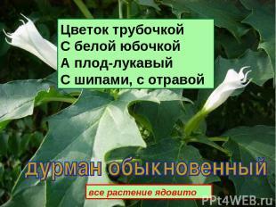 Цветок трубочкой С белой юбочкой А плод-лукавый С шипами, с отравой все растение