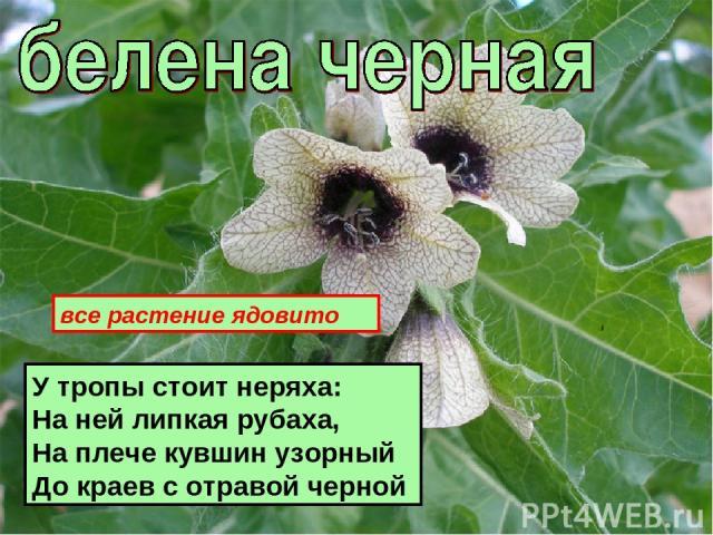 У тропы стоит неряха: На ней липкая рубаха, На плече кувшин узорный До краев с отравой черной все растение ядовито