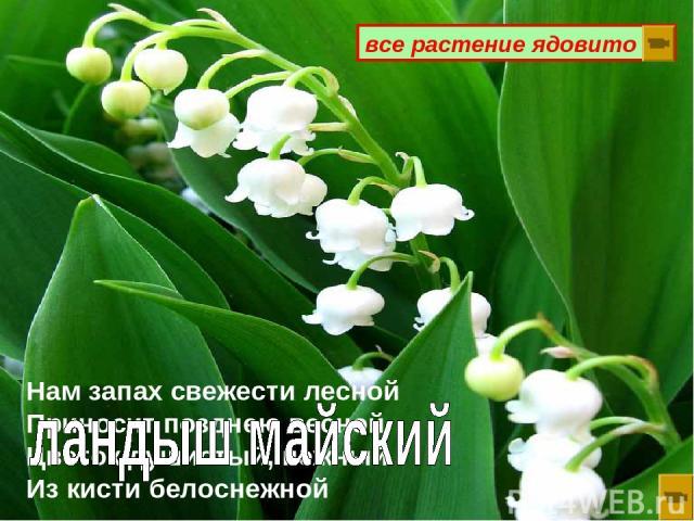 Нам запах свежести лесной Приносит позднею весной Цветок душистый, нежный Из кисти белоснежной все растение ядовито