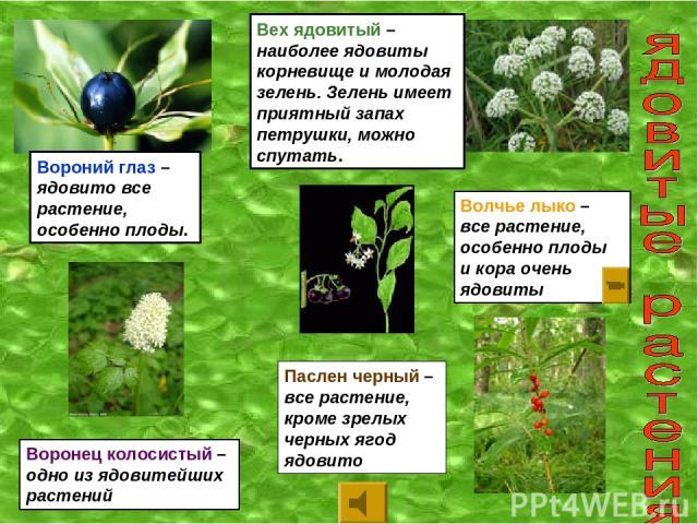 Вороний глаз – ядовито все растение, особенно плоды. Вех ядовитый – наиболее ядовиты корневище и молодая зелень. Зелень имеет приятный запах петрушки, можно спутать. Паслен черный – все растение, кроме зрелых черных ягод ядовито Воронец колосистый –…