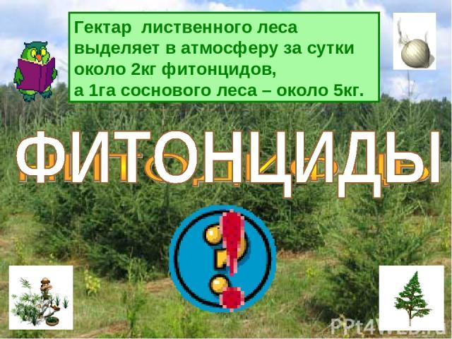 Гектар лиственного леса выделяет в атмосферу за сутки около 2кг фитонцидов, а 1га соснового леса – около 5кг.